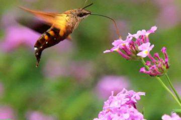 小昆虫-蜂鸟鹰蛾